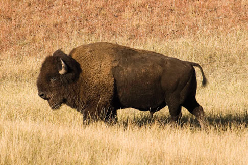 american great plains animals - photo #41
